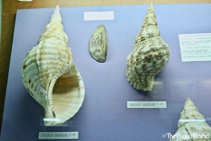 charonia sequenzae museo delle conchiglie