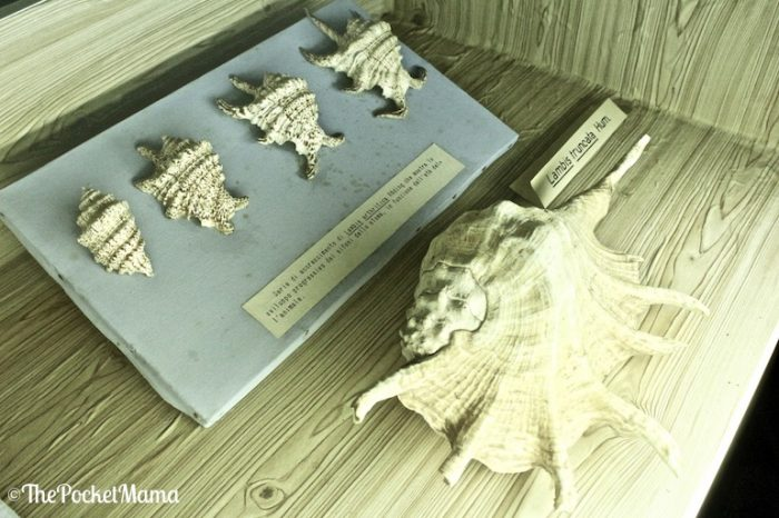 lambis truncata museo delle conchiglie